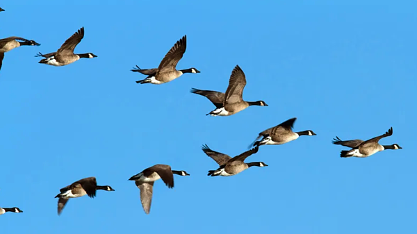 Adult geese flying V